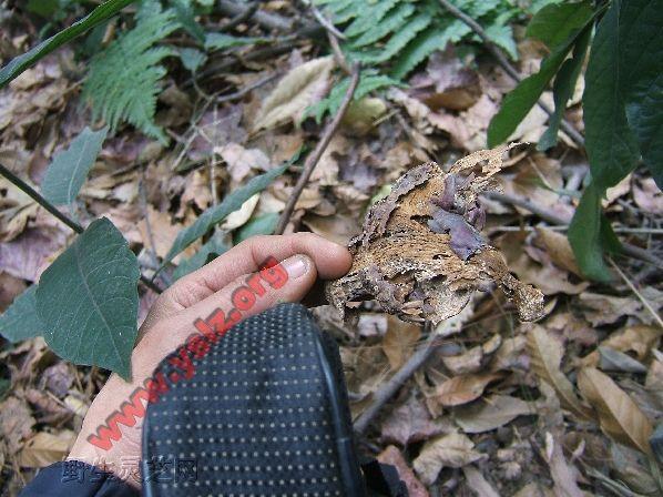 野生灵芝,灵芝虫蛀,野生灵芝虫蛀