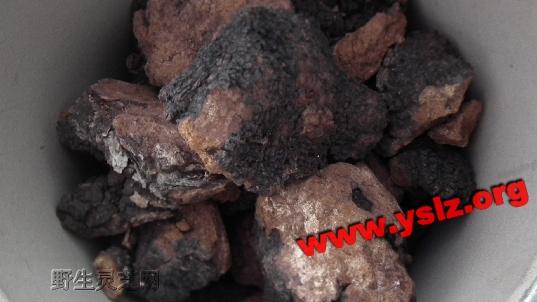 桦褐 桦褐孔菌 桦褐层孔菌