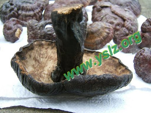 椴木灵芝,人工灵芝,种植的灵芝