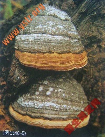 木蹄 木蹄层孔菌 野生木蹄