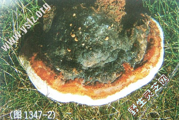 红缘拟层孔菌 红缘多孔菌 红缘层孔菌