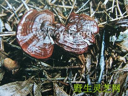 紫芝,野生灵芝 yslz.org zizhi