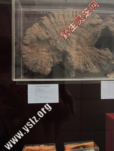 本站提供的部分灵芝展于南京中医药大学标本馆